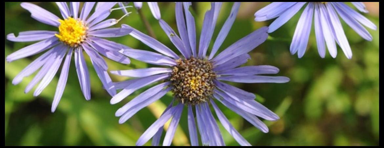 Botanik Szczecin. Aster gawędka Aster amellus  ‒ gatunek kwalifikujący do wariantu 4.3./5.3. Murawy w ramach PROW 2014-2020